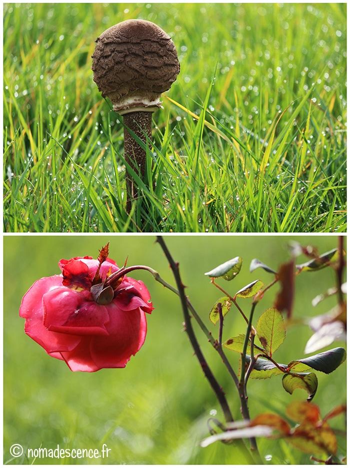 Champignon et rose