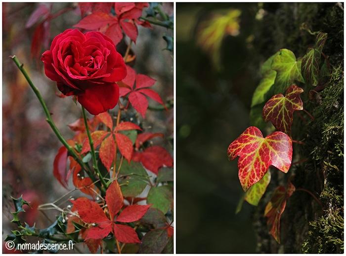 Rose et feuilles