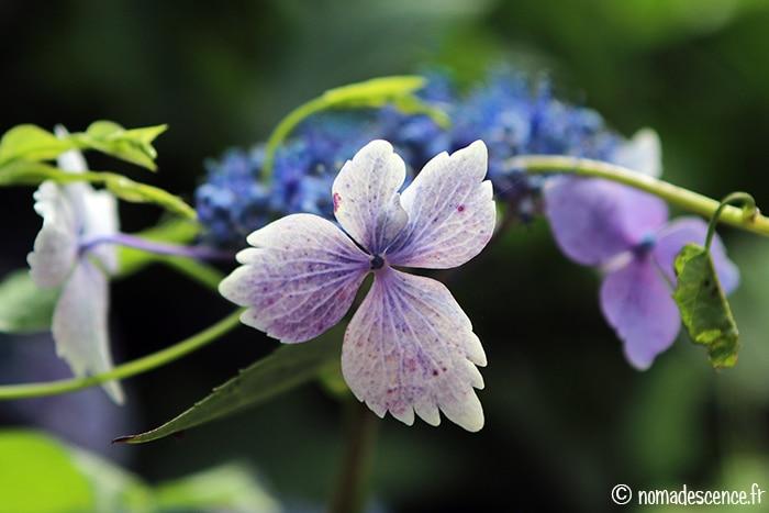 Surprenants hortensias