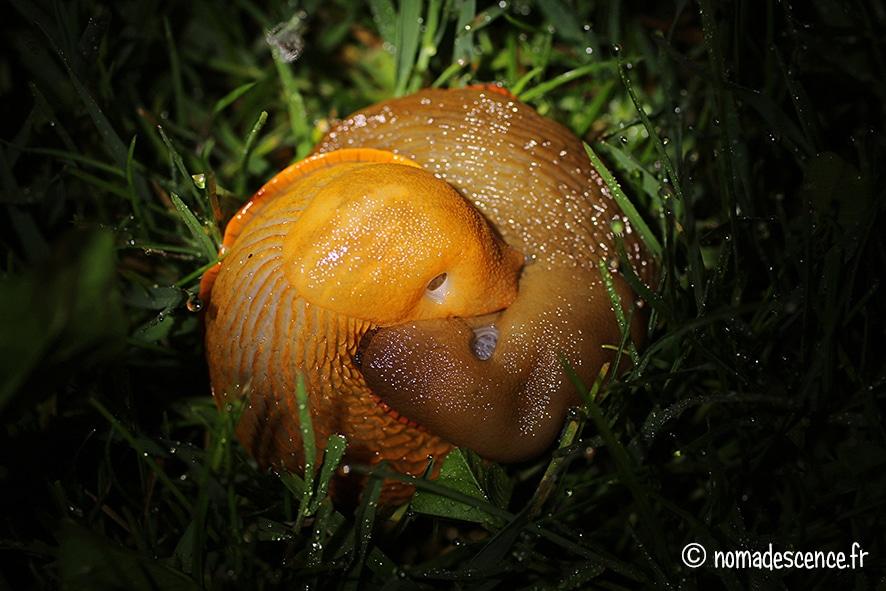 Les limaces au potager